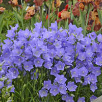 Campanula Takion Series-Blue