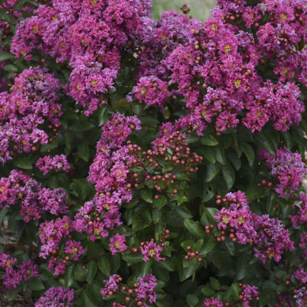 Lagerstroemia 'Spiced Plum' Crapemyrtle
