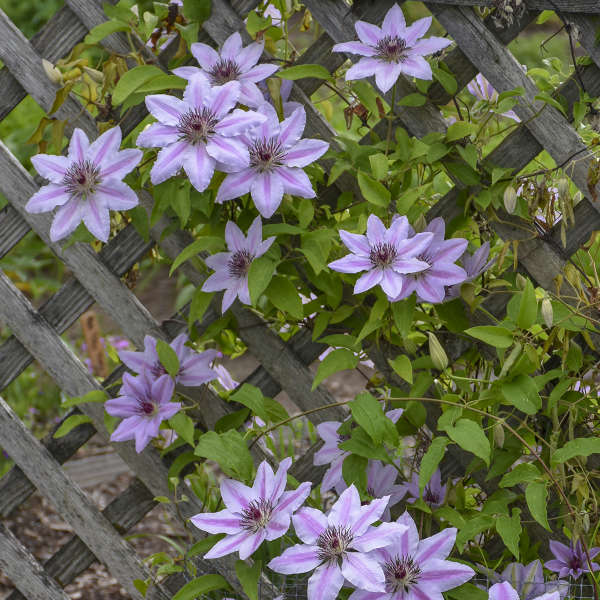 Clematis 'Nelly Moser' Clematis