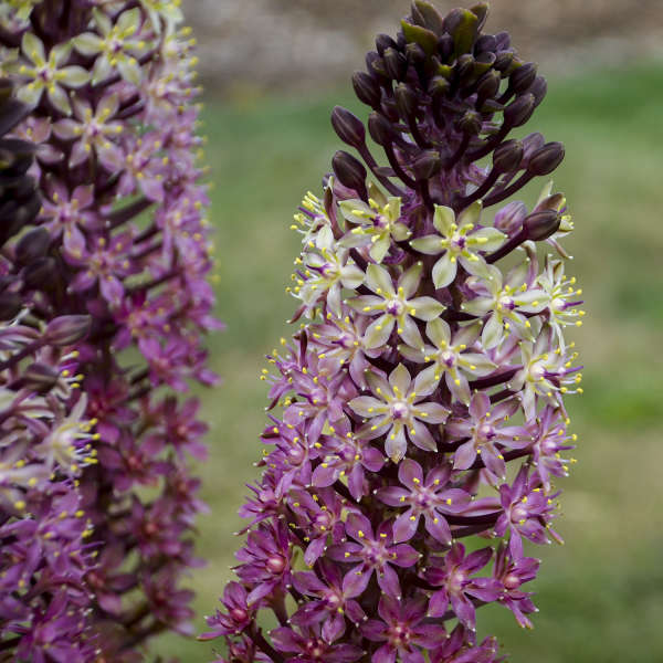 Eucomis 'Safari Adventure' Pineapple Lily