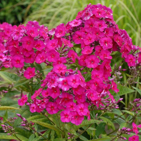 Phlox 'Tenor' Tall Garden Phlox