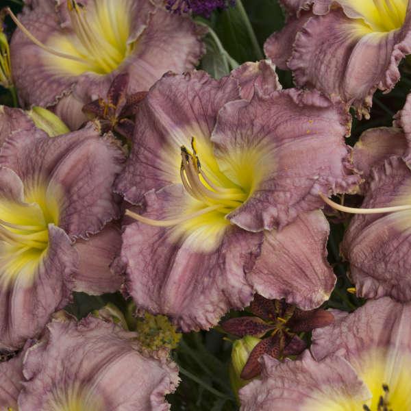 Hemerocallis 'Magic Amethyst' Daylily