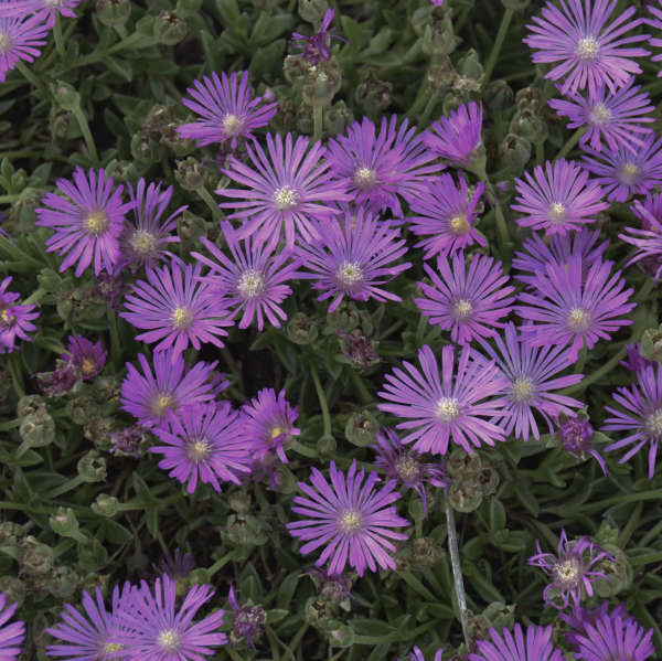 Delosperma TABLE MOUNTAIN® Hardy Ice Plant