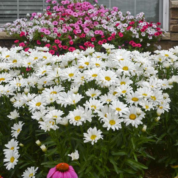 Leucanthemum DAISY MAY&#174 Shasta Daisy