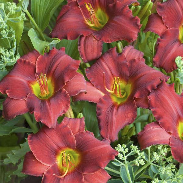 Hemerocallis 'Red Razzmatazz' Daylily