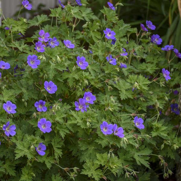 Geranium 'Rozanne' Hardy Geranium