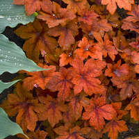 Heucherella 'Pumpkin Spice'