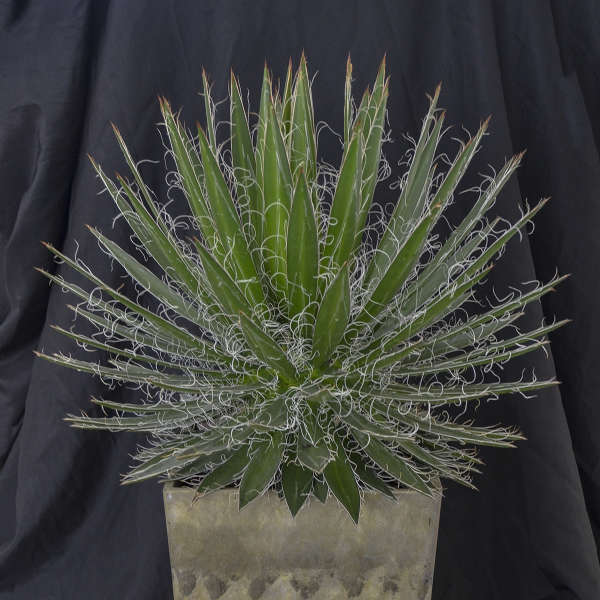 Agave 'Black Widow' Century Plant