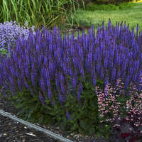 Salvia 'Violet Riot'