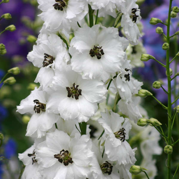 Delphinium 'Black Eyed Angels' Hybrid Bee Delphinium