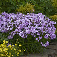 Phlox 'Opening Act Blush'