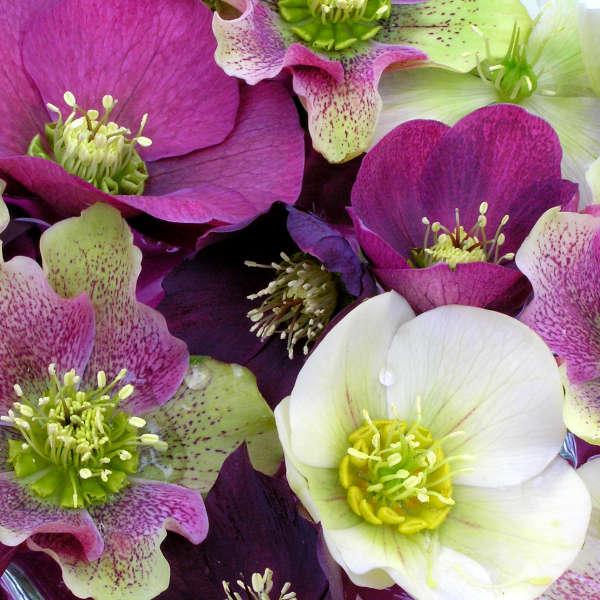 Helleborus ROYAL HERITAGE™ Strain Lenten Rose