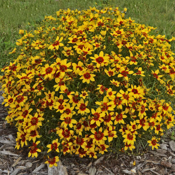 Coreopsis 'Curry Up' Threadleaf Coreopsis