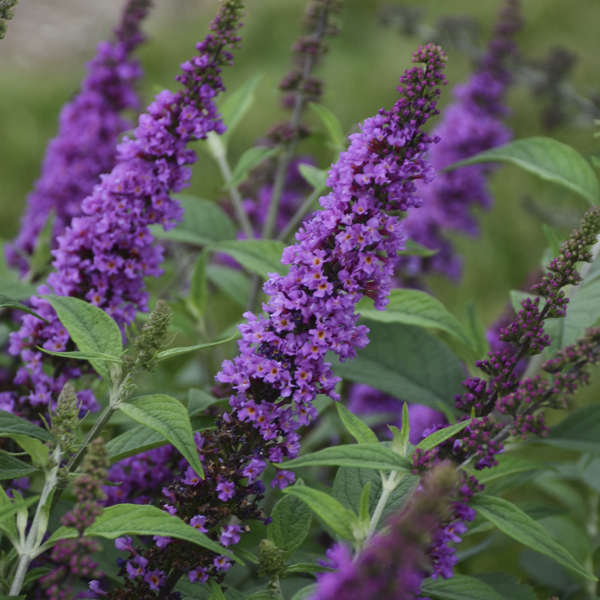 Buddleia 'Orchid Annie' Butterfly Bush