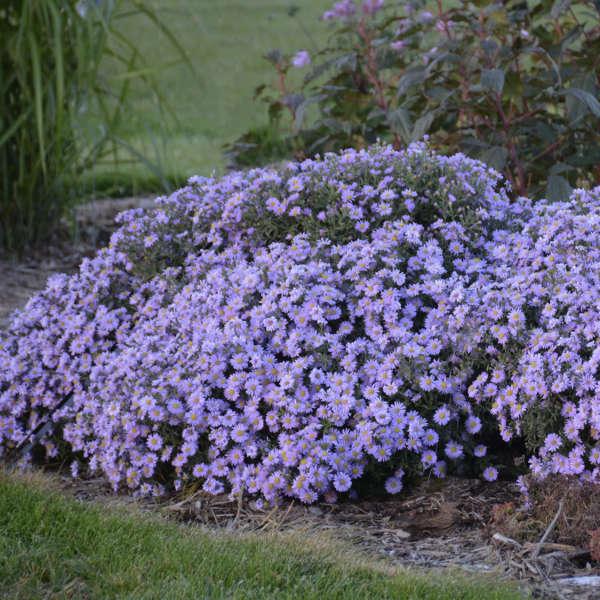 Aster KICKIN&#174 'Lavender' Aster