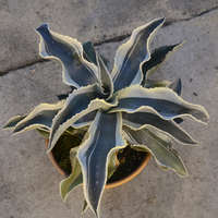 Agave 'Ivory Curls'
