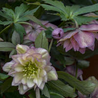 Helleborus 'Mother of the Bride'