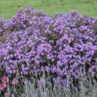 Aster KICKIN&#174 'Lilac Blue'