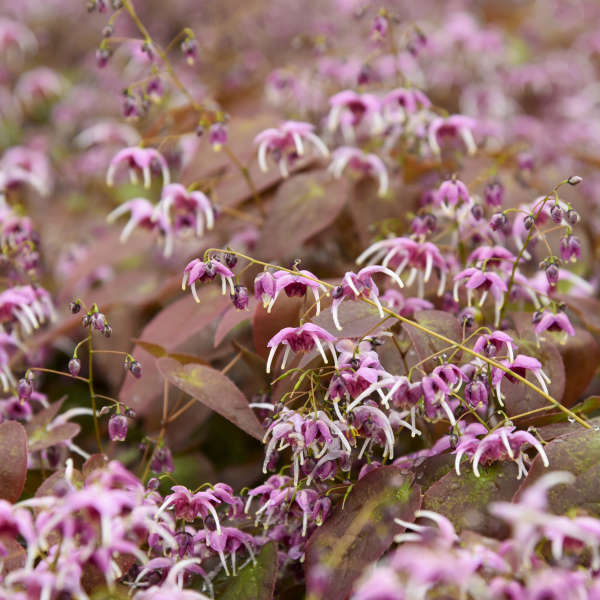 Epimedium 'Pretty in Pink' Barrenwort