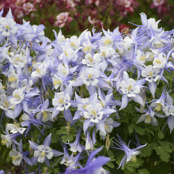 Aquilegia KIRIGAMI™ Light Blue & White Columbine