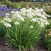 Agapanthus 'Galaxy White'