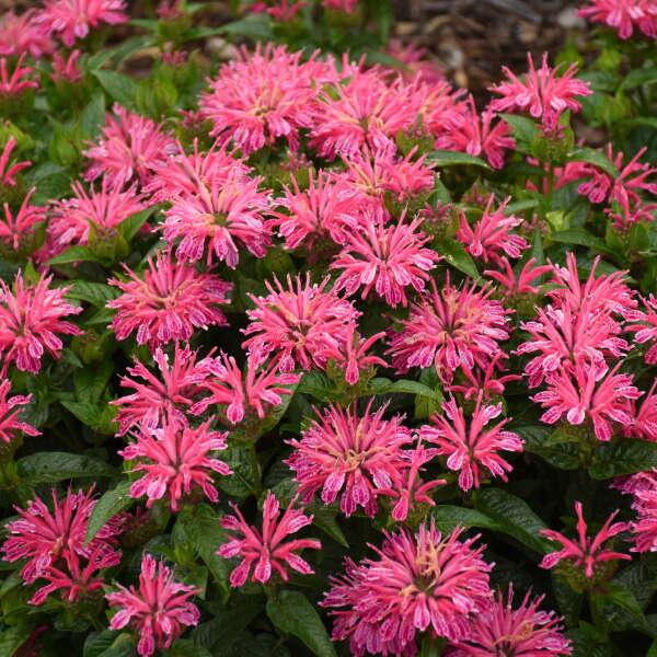 Monarda 'Leading Lady Pink' Bee Balm