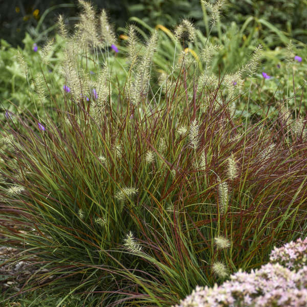 Pennisetum alopecuroides 39 burgundy bunny 39 pp21917 for Short variegated grass