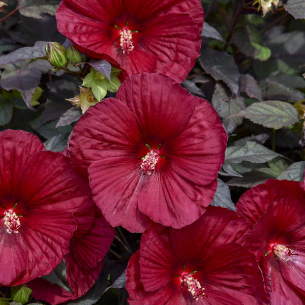 Hibiscus Holy Grail Ppaf Cpbraf Walters Gardens Inc