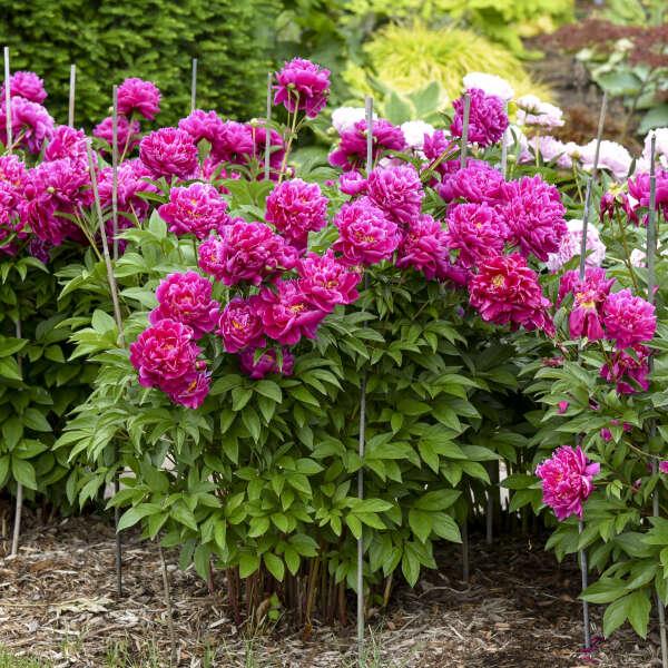 Paeonia 'Karl Rosenfield' Garden Peony