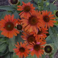 Echinacea 'Atomic Orange'
