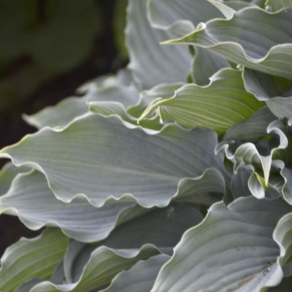 Hosta 'Waterslide' Hosta