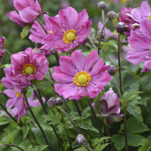 Anemone 'Curtain Call Deep Rose' Japanese Anemone