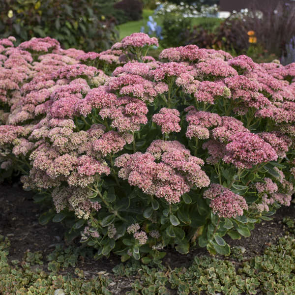 Sedum 'Autumn Joy' Autumn Stonecrop