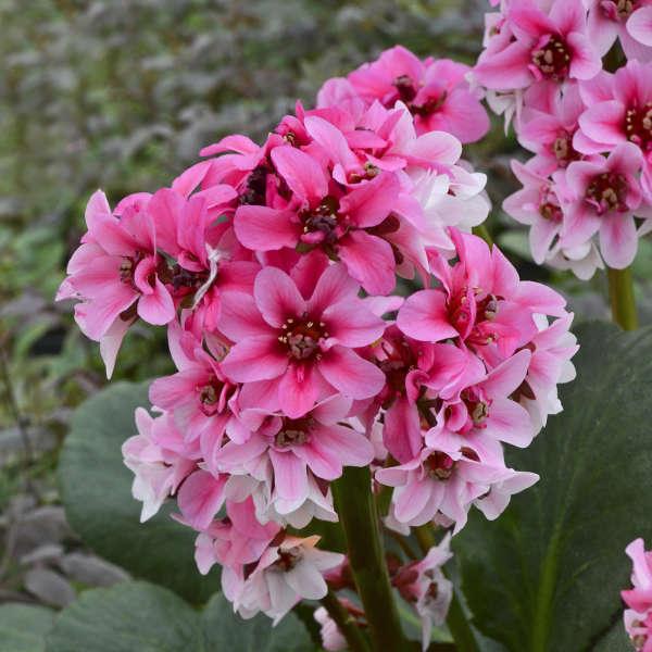 Bergenia 'Sakura' Heartleaf Bergenia