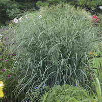 Panicum 'Blue Fountain'