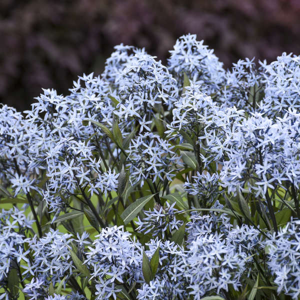 Amsonia 'Storm Cloud' Bluestar
