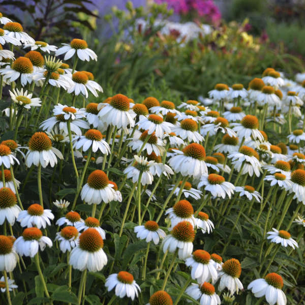 Echinacea Purpurea Powwow White Us7 982 110 Perennial Resource