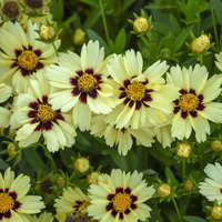 Coreopsis UPTICK&#8482 Cream & Red