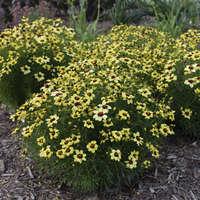 Coreopsis 'Sassy Saffron'