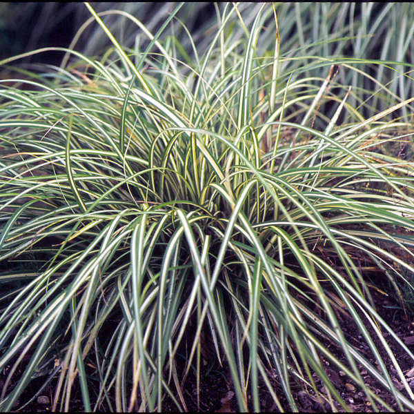 Carex 'Evergold' Variegated Japanese Sedge
