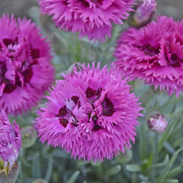 Dianthus 'Spiked Punch' Pinks
