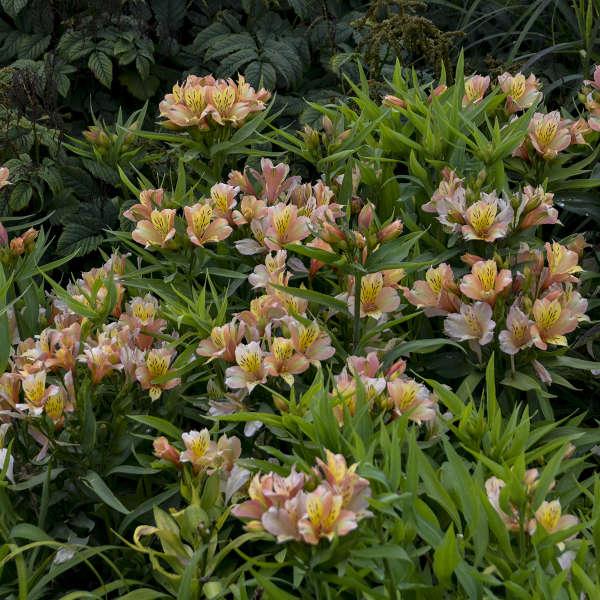 Alstroemeria INCA ICE&#8482 Peruvian Lily