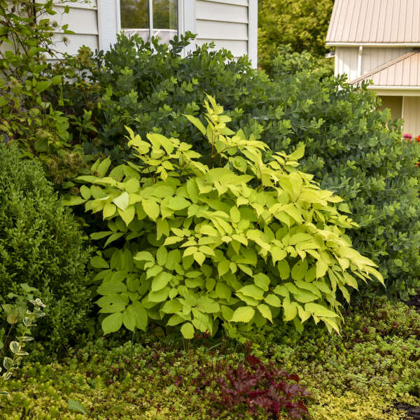 Aralia 'Sun King' Golden Japanese Spikenard