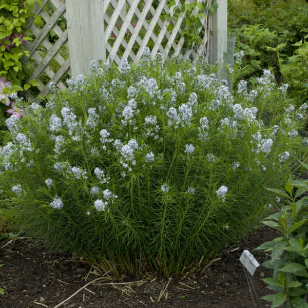 Amsonia hubrichtii Arkansas Blue Star