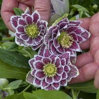 Helleborus 'Shotgun Wedding'