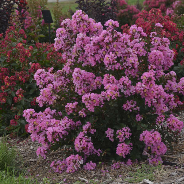 Lagerstroemia 'Perky Pink' Crapemyrtle