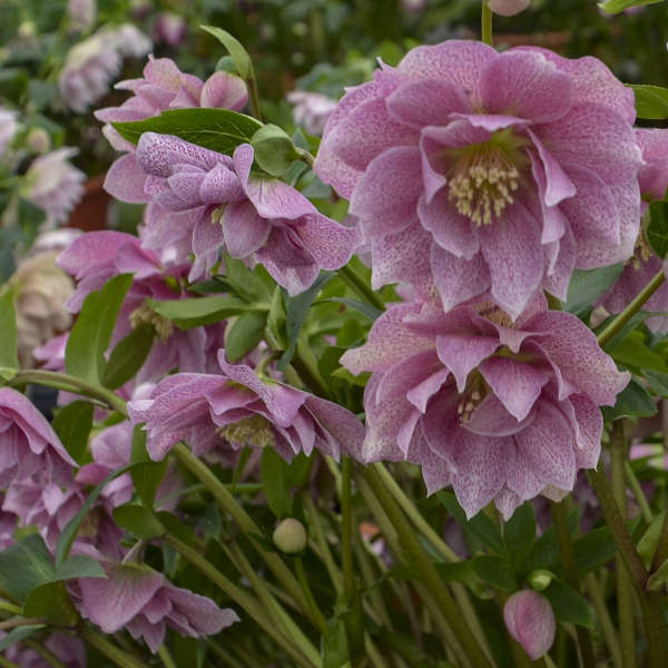 Helleborus 'Wedding Crasher' Lenten Rose
