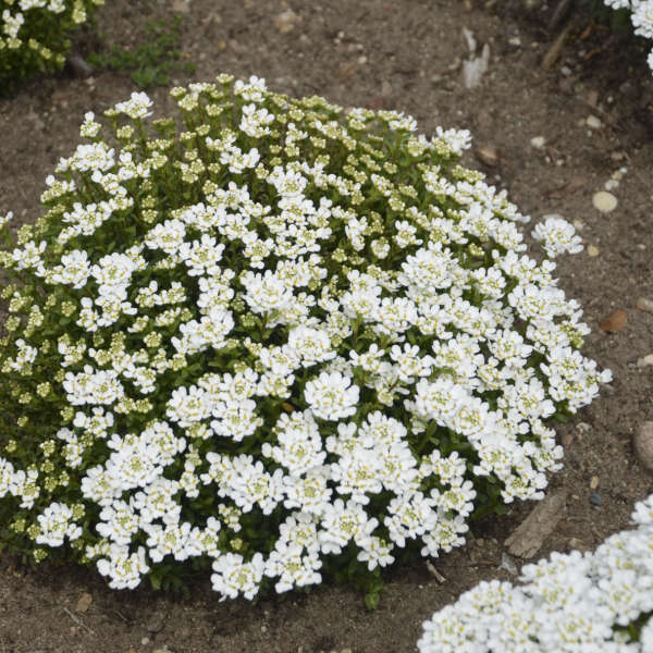 Iberis 'Candy Ice' Evergreen Candytuft