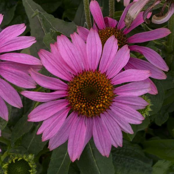 Echinacea PRAIRIE SPLENDOR™ Rose Compact Purple Coneflower