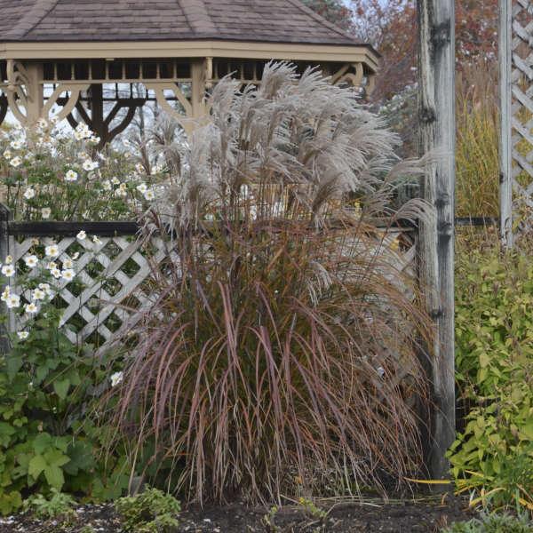 Miscanthus 'Oktoberfest' Ornamental Grass
